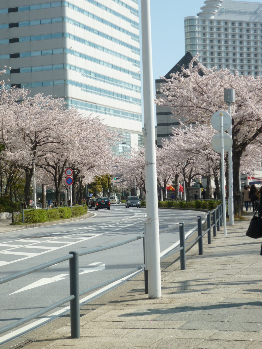 Sakuragicho's sakura- 桜木町の桜